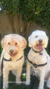 Chance and Ninja both wear the Easy Walk harness clipped in the back and the front!