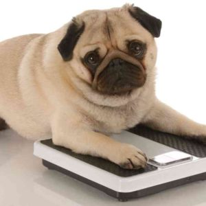 fat dog, dog body, healthy dog, pet health