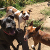 Dogs together, Bull terrier, Pit mixes