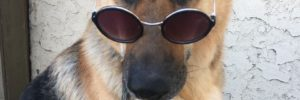 dog in sunglasses, german shepherd, dog walks, model dog