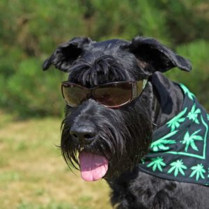 pot for pets, weed, dogs